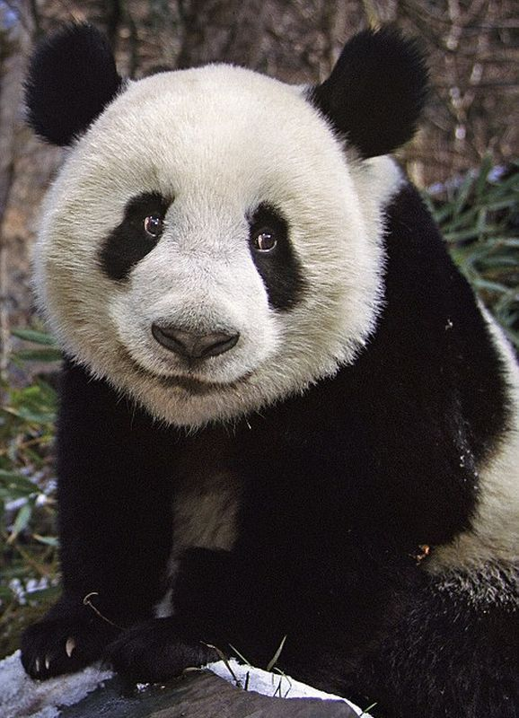 nerealno-bolshaya-panda-foto