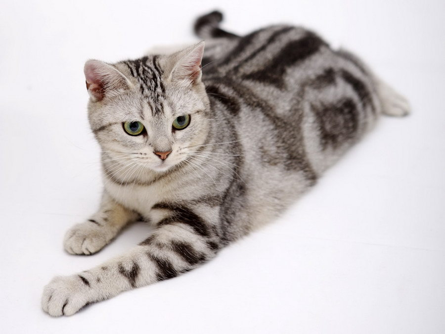 коты на белом фоне
