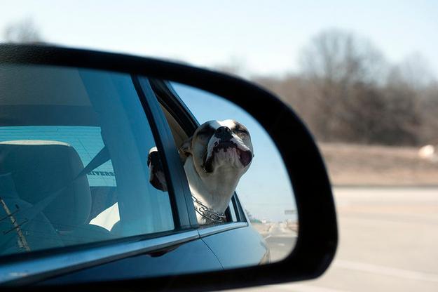 Собаки в зеркале авто