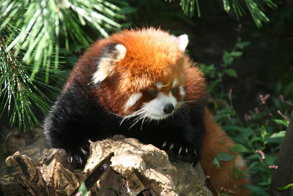 Экзотическая Красная Панда