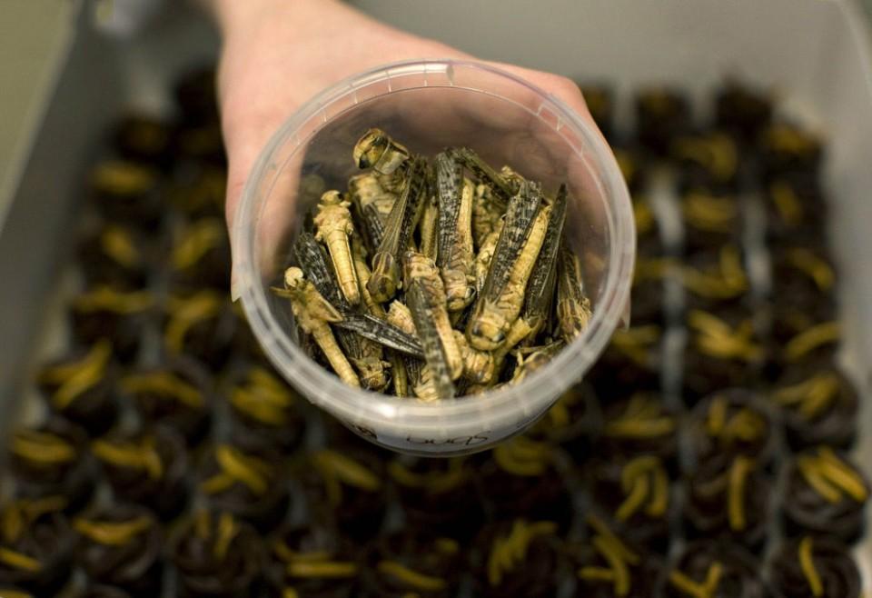Как правильно готовить насекомых