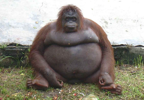 Толстые животные