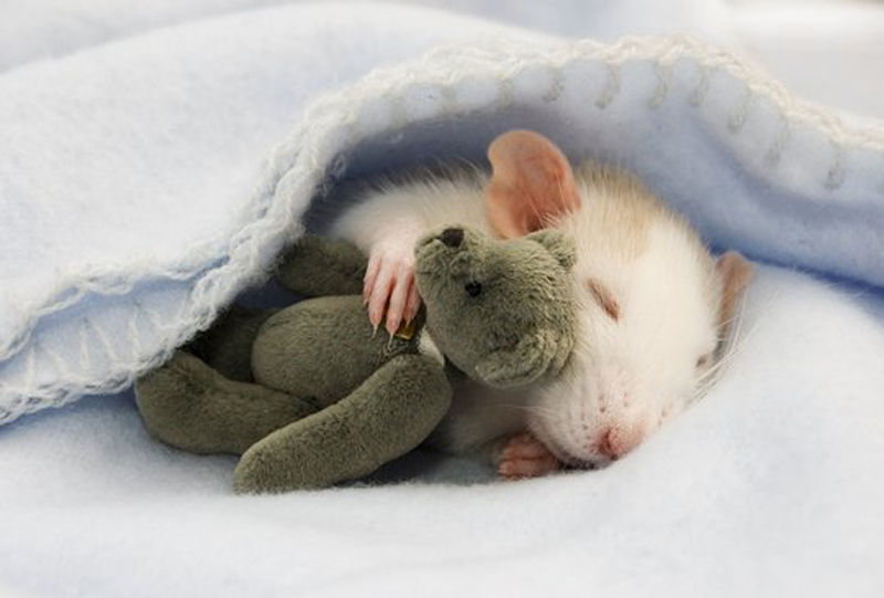 Самая симпатичная Крыса