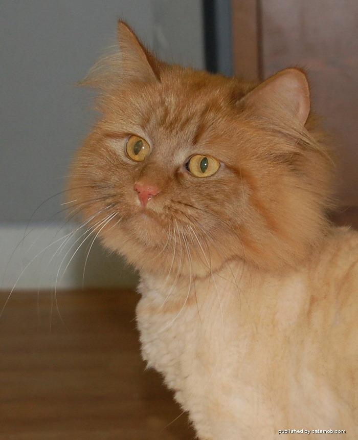 Бритые кошки