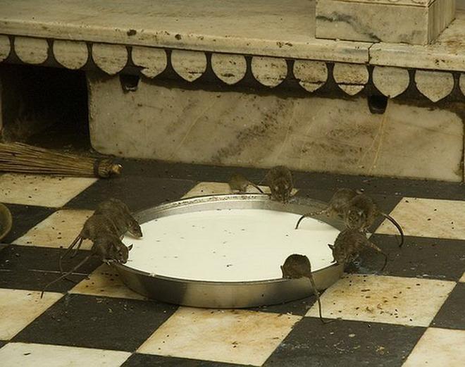 Карни Мата - Крысиное Святилище