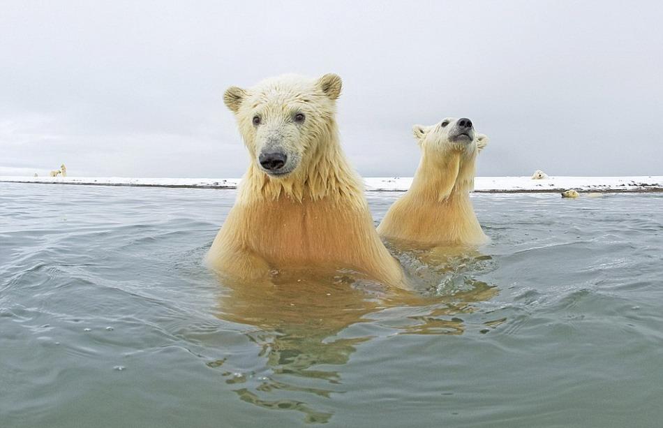 Белые медведи крупным планом