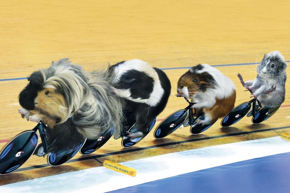 Спортивные игры морских свинок