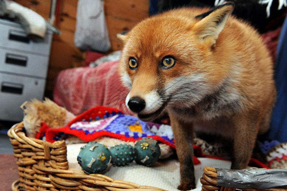 Домашняя лисичка