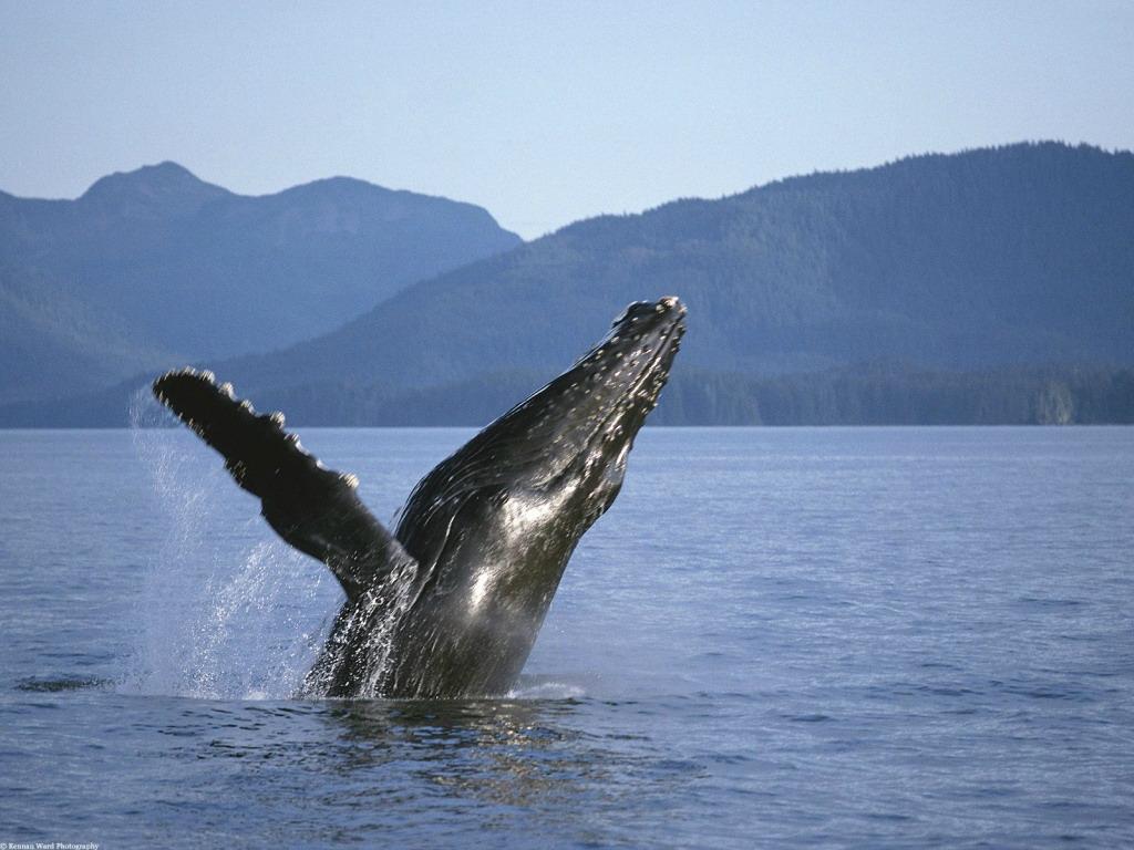 Прыжки горбатых китов