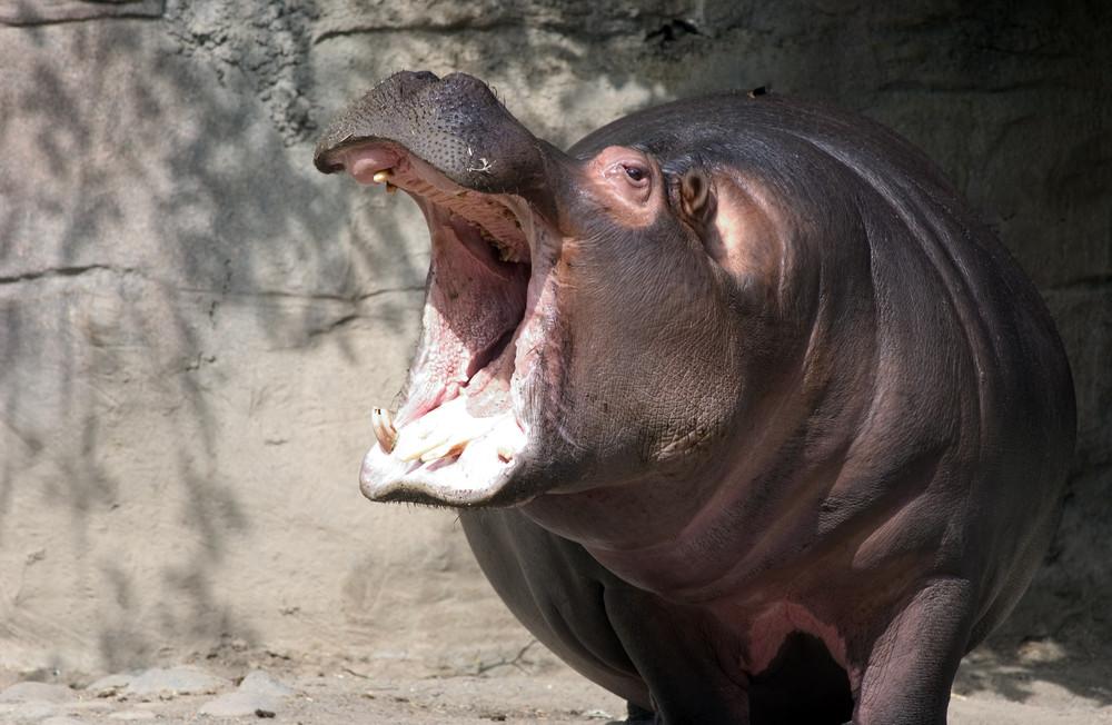 Заразительно зевающие животные
