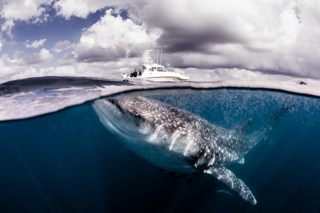 Модель плавает с китовыми акулами